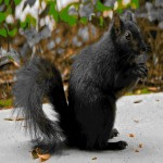 The black squirrel is a melanistic subgroup of the eastern grey squirrel. As a melanistic variety of the Grey Squirrel, individual black squirrels can exist wherever Gray Squirrels live. The black subgroup is particularly abundant in the northern part of the Eastern Grey's range. Large natural populations of black squirrels can be found throughout Ontario, and in several parts of Michigan, Wisconsin and Ohio.